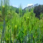 もち麦の生育状況